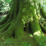 Root flare, beech